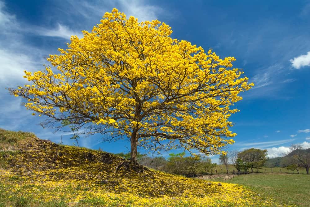 Cortez Amarillo – Gold Trumpet Tree