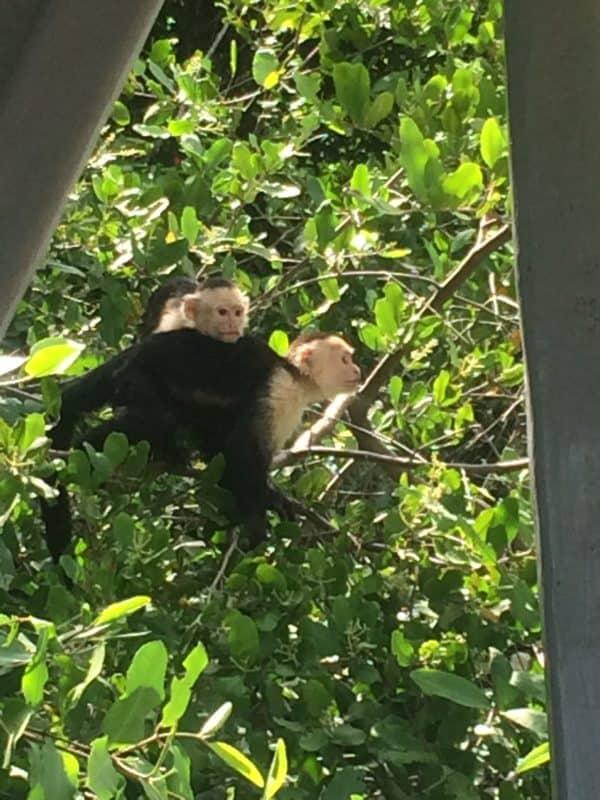 two capuchin monkeys at a tree in Guanacaste