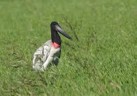Jabiru bird Costa Rica