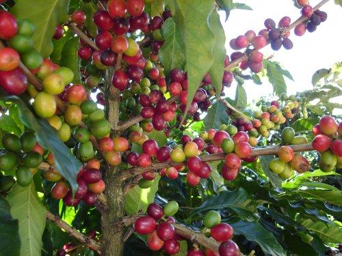 coffee bean from arabica plant