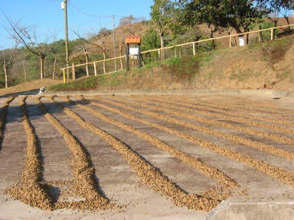 coffee roasting process with the sun