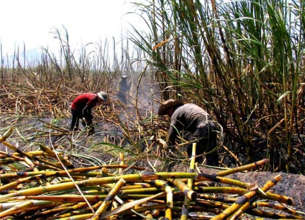 Workers at sugar cane cropping