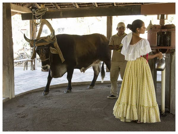Ox working at a Trapiche in Costa Rica with women dressed with typical costume